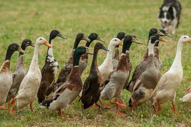 border-collie et canards