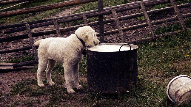 chien qui boit dans une grosse gamelle.