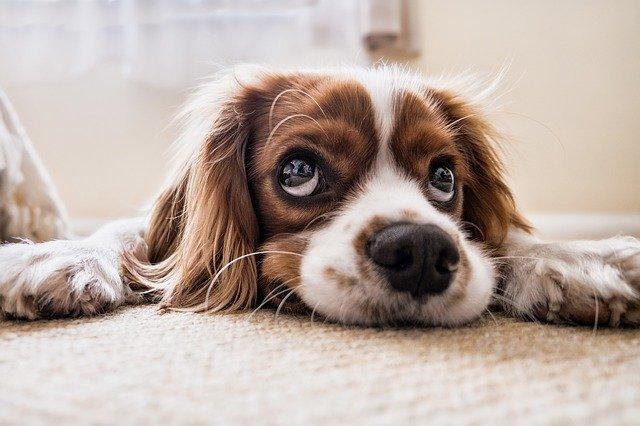 le stress du chien